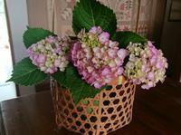 ピンクの紫陽花が咲きだしました - 難病あっても、楽しく元気に暮らします(心満たされる生活)