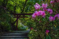 岡寺の石楠花とシャガの花 - 鏡花水月
