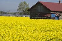 南幌町にも菜の花畑 - ekkoの --- four seasons --- 北海道