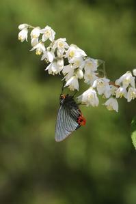ウツギに集まるチョウなど - 蝶超天国