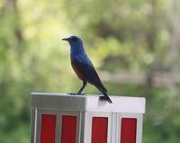 今日の鳥さん190524 - 万願寺通信