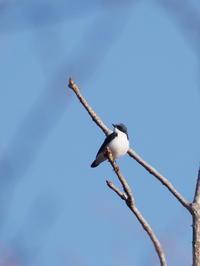 コルリの囀りが響きました - コーヒー党の野鳥と自然 パート2
