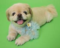ペキニーズ×チワワ! - いとしい犬たちのフォトブログ