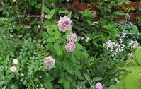 雨をもらって生き返った庭薔薇と宿根草 - miyorinの秘密のお庭