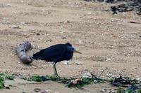 南の島のクロサギ - 比企丘陵の自然