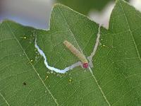 ミヤマセセリ幼虫の造巣 - 秩父の蝶