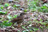 舳倉島遠征(その6)・・・ - 一期一会の野鳥たち