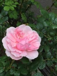 庭仕事後のお楽しみ、花々を眺めて - お花に囲まれて