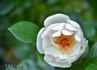 薔薇の初開花は - カヲリノニワ