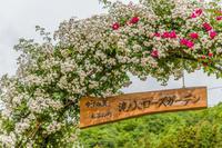 薔薇の盛り@滝ノ入ローズガーデン - デジカメ写真集