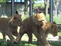 成長する子ライオン - 動物園放浪記