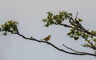 ツメナガセキレイ - 趣味の野鳥撮影