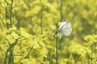 菜の花に集まる蝶とミツバチ - 何でも写真館