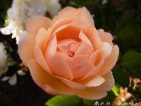 今日の薔薇。 - あの日、あの味。