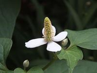 ドクダミの花 - しらこばとWeblog