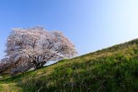 桜咲く奈良2019幾坂池の一本桜 - 花景色-K.W.C. PhotoBlog