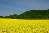 キガラシの畑と~5月の美瑛 - My favorite ~Diary 3~