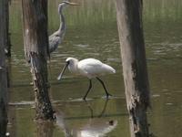 下の池に珍鳥2羽見られました・・・★先週末の鳥類園(2019.5.25~5.29) - 葛西臨海公園・鳥類園Ⅱ
