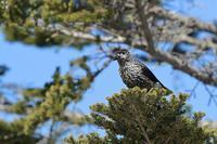 山の峠のホシガラス - 野鳥公園