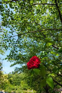 深紅の薔薇(松山総合公園) - かたくち鰯の写真日記2
