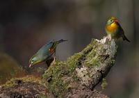 遠征9ソウシチョウ - 今日も鳥撮り