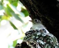 北摂山間のコサメビタキの子育て・・・ - 一期一会の野鳥たち