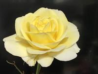 薔薇の花 - ももちゃん大好き♪