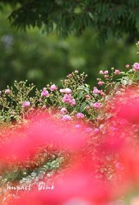 アイガモ公園の花壇にて(^^)/~3~ - インパクトブルー