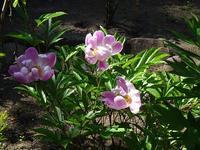 牡丹の花 - blueletter