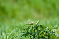 コヨシキリ - 趣味の野鳥撮影