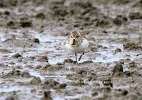 ヘラシギは、嘴の先がへら状になっているのが特徴 - THE LIFE OF BIRDS ー 野鳥つれづれ記