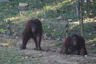 マレーシアの動物(オランウータン) - 旅めぐり&花めぐり
