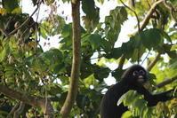 マレーシアの動物(ダスキーリーフモンキー) - 旅めぐり&花めぐり