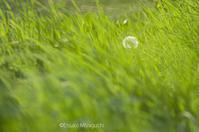 初夏、たんぽぽが綿毛に。 - ekkoの --- four seasons --- 北海道