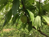 自然栽培の桃 - 自然栽培 果樹カナン