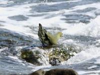 アオバト@照ヶ崎海岸 - 青爺の野鳥日記