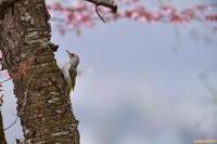 北の桜と(4)・・・ヤマゲラ。 - 野鳥のさえずり、山犬のぼやき