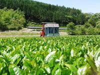 菊池水源茶茶摘みの様子(2019)!濃い色に育て上げ、茶摘!今年も生茶の香りが最高なんです!! - FLCパートナーズストア