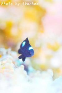 今年お初のスズメのパステル~ミツボシクロスズメダイ幼魚~ - 池ちゃんのマリンフォト