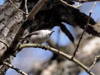 覚満淵にはコガラもいた - コーヒー党の野鳥と自然 パート2