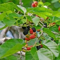 桑の実も、立派に果物なのでアル。 - 丙丙凡凡(蛙声diary)