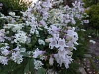 ペンステモン、セントーレア、ゼラニウム - natural garden~ shueの庭いじりと日々の覚書き