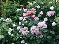 5月のアトリエ庭 - mille fleur の花とおやつ