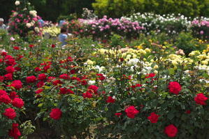 伊奈町 町制施行記念公園の薔薇園1 - 写真とパピオン大好き3