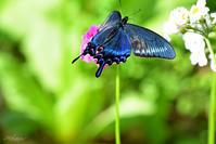 九輪草とアゲハチョウたちミヤマカラスアゲハ2 - 蝶鳥写楽