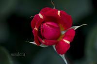 赤い薔薇*YEG - MIRU'S PHOTO