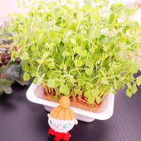 『再生栽培』 - カルトナージュ教室 & ハンドクラフト教室 ~ La fraise blanche ~ ラ・フレーズ・ブロンシュ