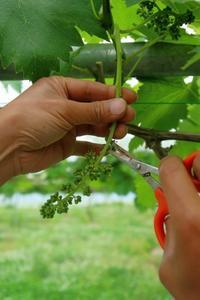 花切(花穂成形) - ~葡萄と田舎時間~ 西田葡萄園のブログ