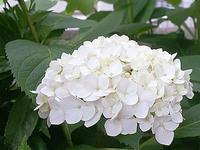 季節の花、紫陽花 - しらこばとWeblog