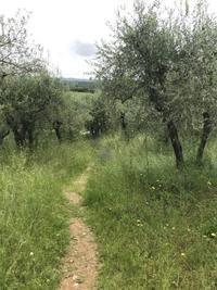 麻薬の話とキャンティ地方、ブドウ5月下旬の生育日記2019 - フィレンツェのガイド なぎさの便り